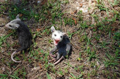 2014 Apr 25 002 opossum